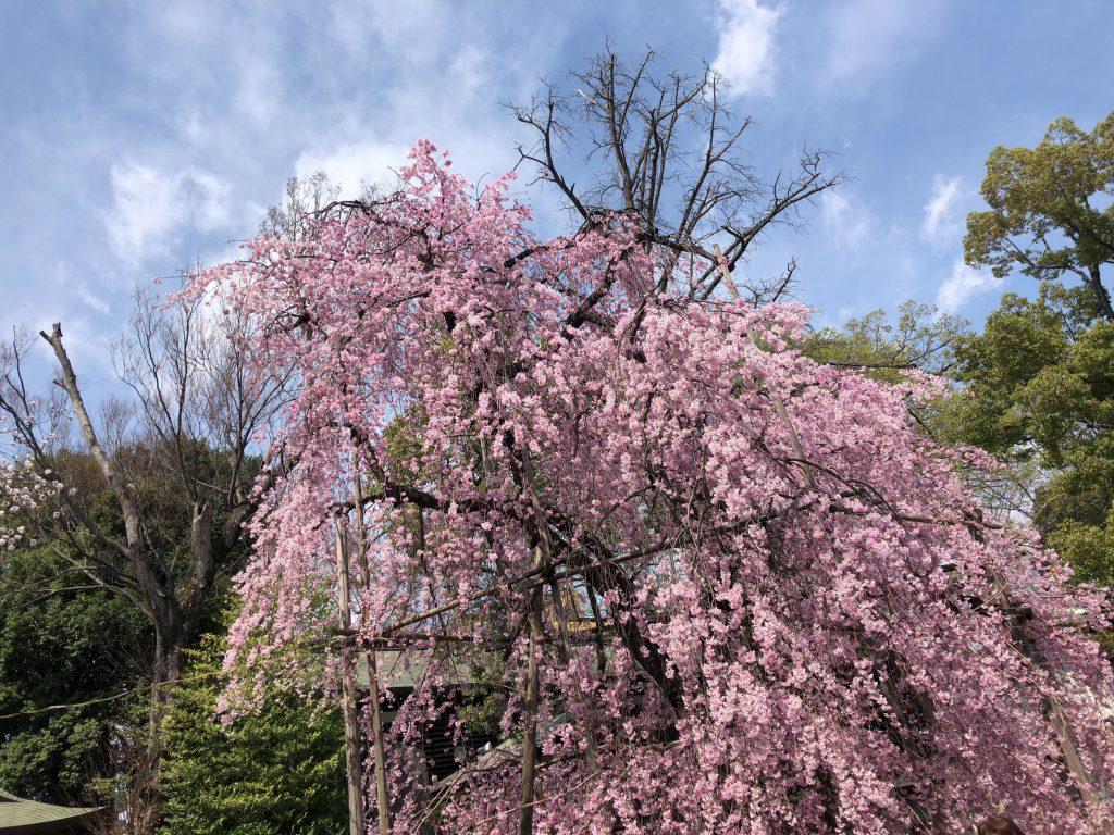 桜を愛でる心を大切にしたいですね